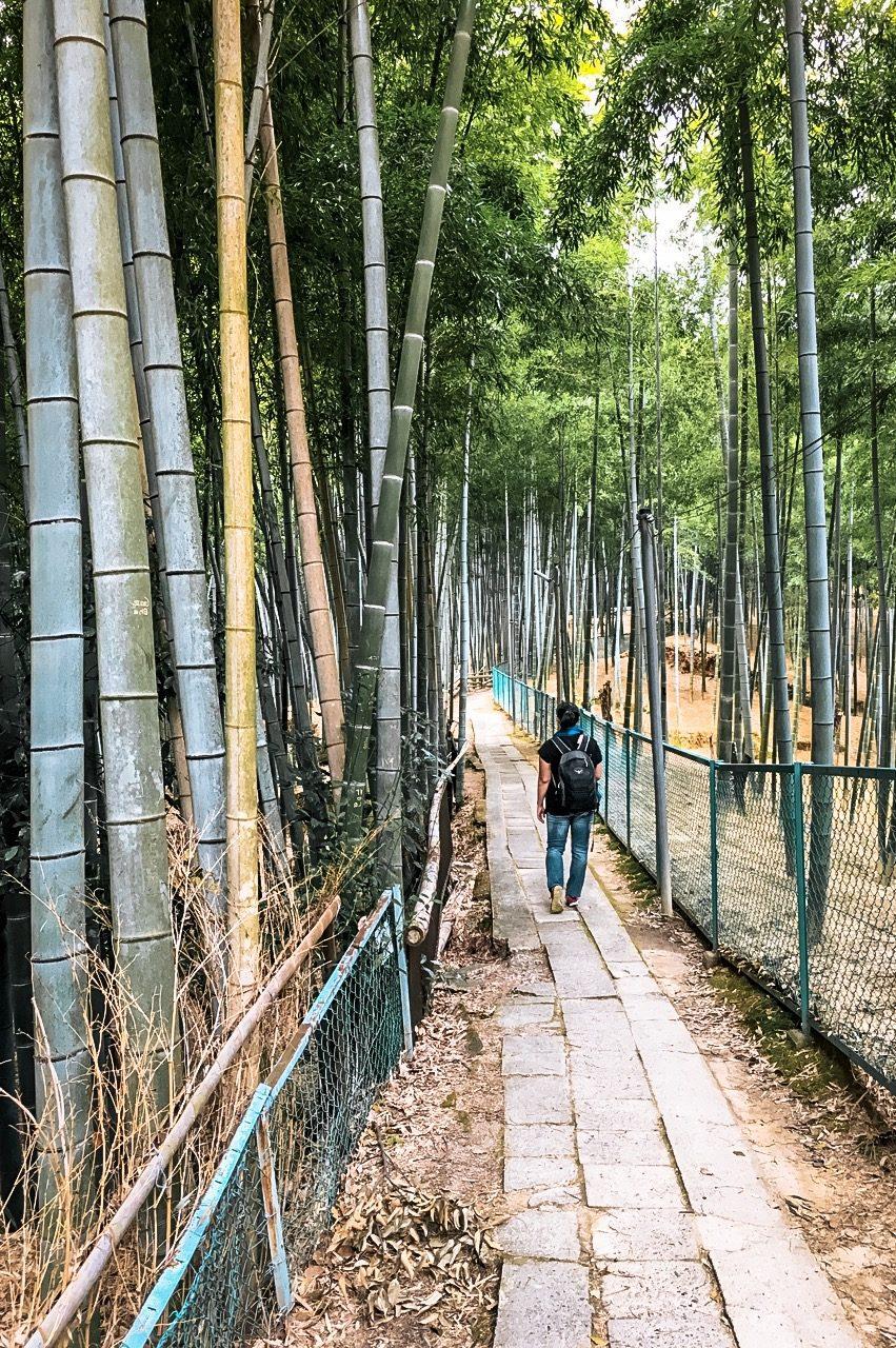 bamboo trees fushimi inari japan