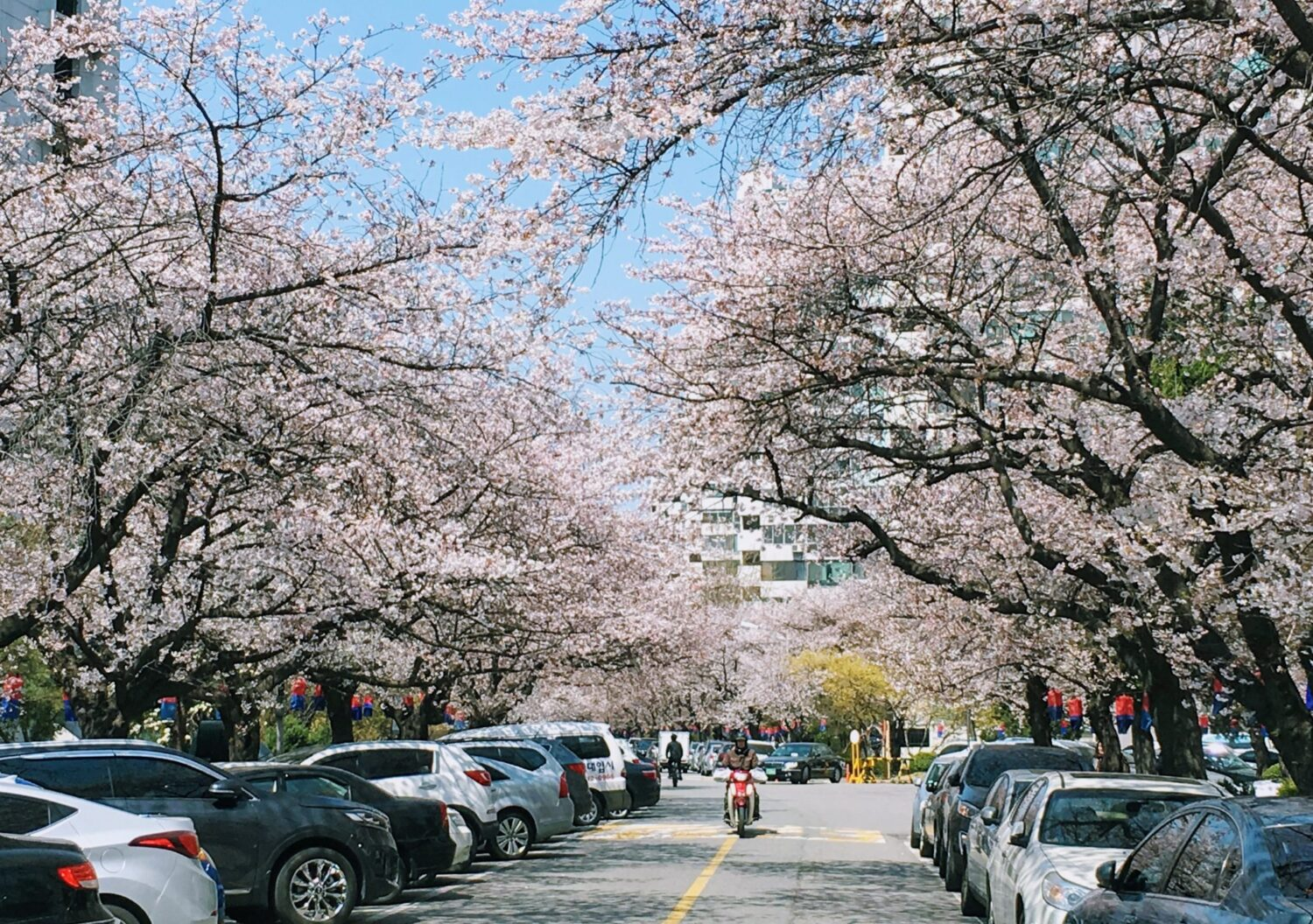 cherry blossom trees in jamsil korea