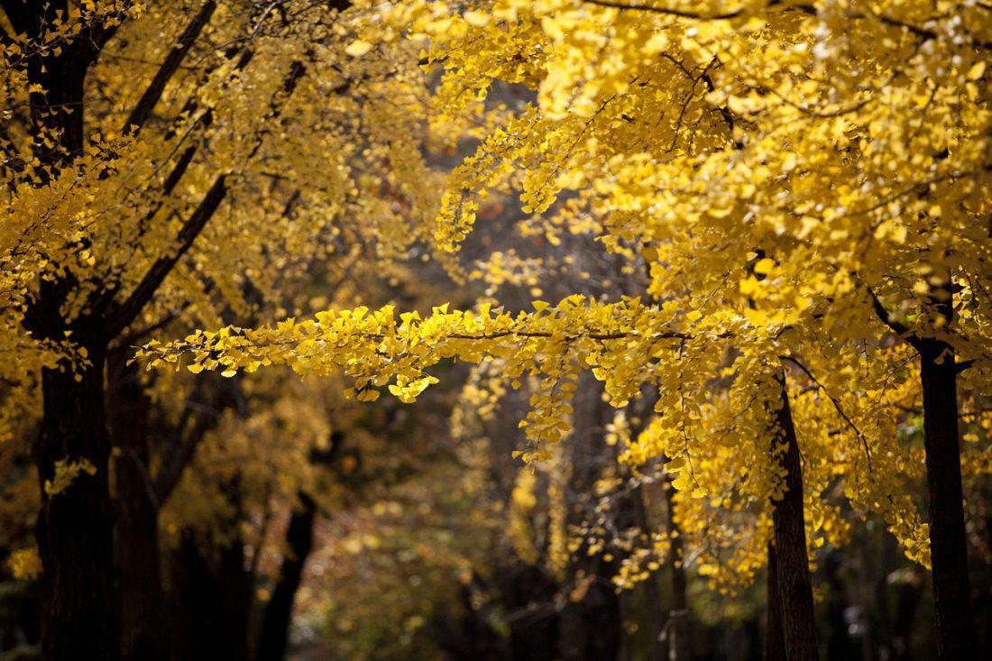 autumn in korea gingko trees