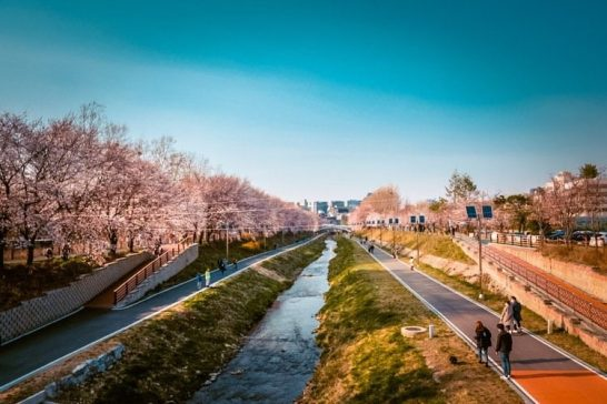 yangjaecheon stream cherry blossoms