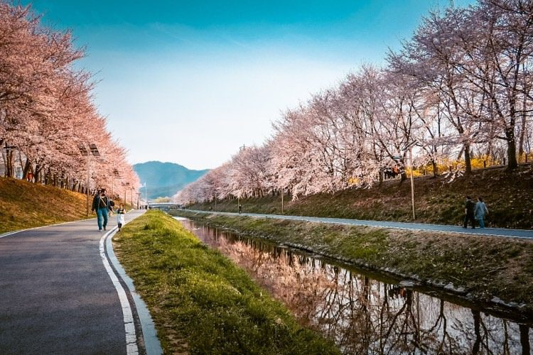 yangjaecheon stream cherry blossoms