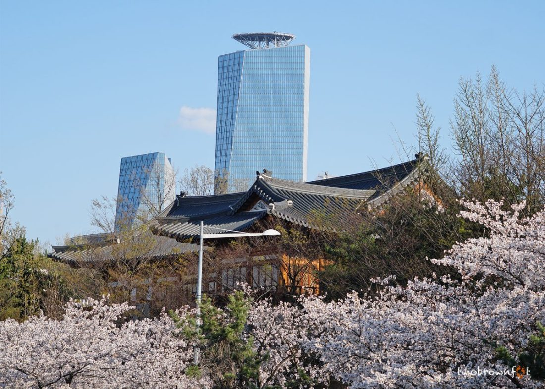 cherry blossoms in korea, spring in korea, cherry blossom festivals in korea, yeouido cherry blossom festival