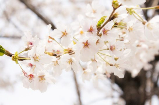 close-up of Korea's cherry blossoms