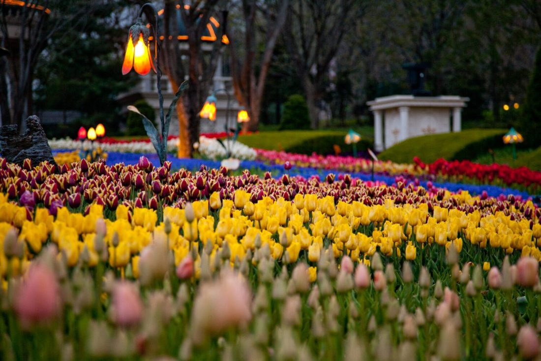 everland tulip festival korea in april