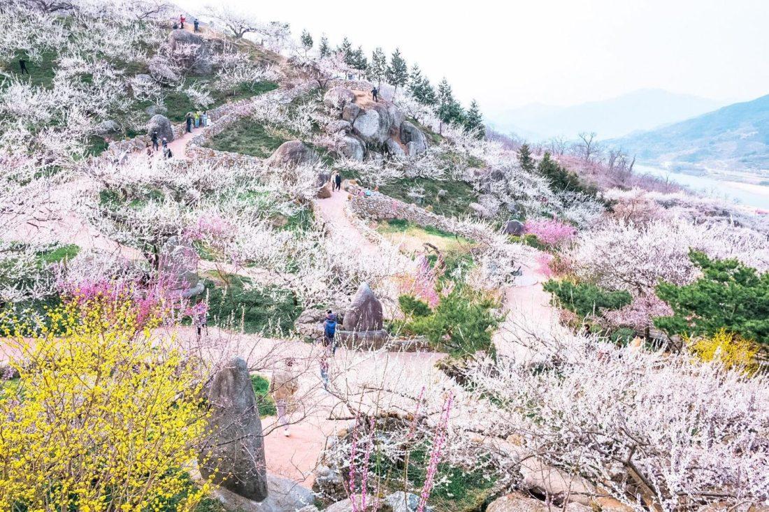 maehwa blossoms in gwangyang during spring in korea