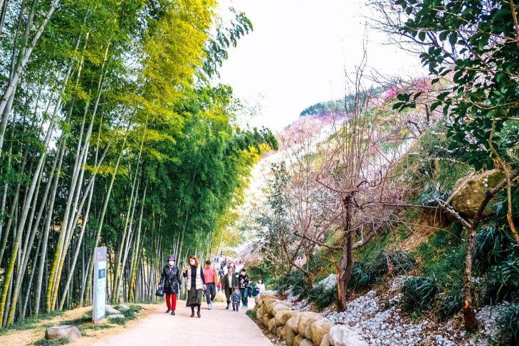 Bamboo trees and plum blossoms in Gwangyang during spring in korea