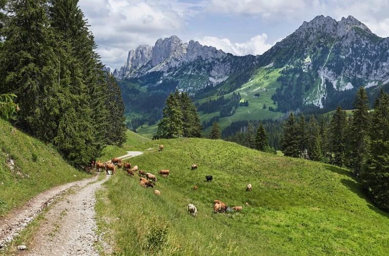 Типичный швейцарский сельский пейзаж: коровы пасутся в долине в районе горного массива Гастлозен (Gastlosen)