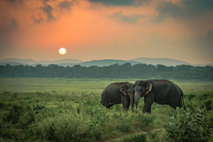 Saving elephants is one of the most important goals of wildlife conservation projects in Asia.