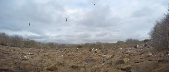 Albatross colony in the Galapagos Islands