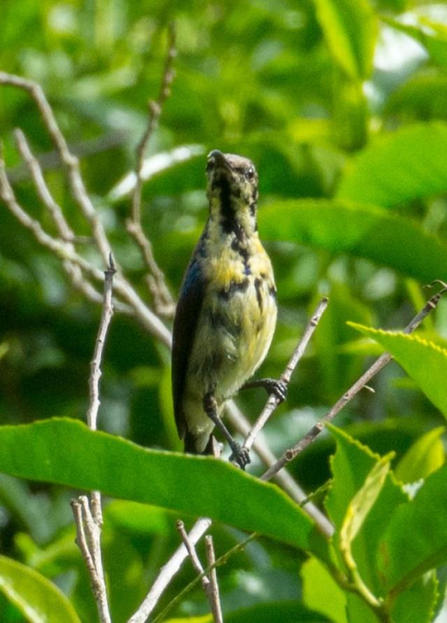 Die weiblichen Purple Sunbirds sind weniger auffällig
