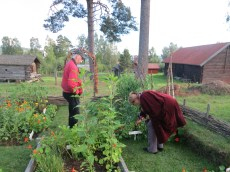 garden of old kitchen plants (vegetables and herbs) from Dalarna