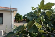 <h5>Fig trees</h5>