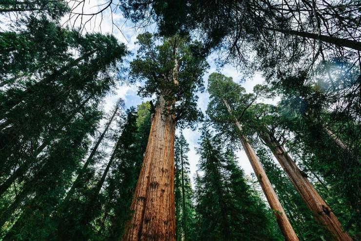 05-sequoia-02
