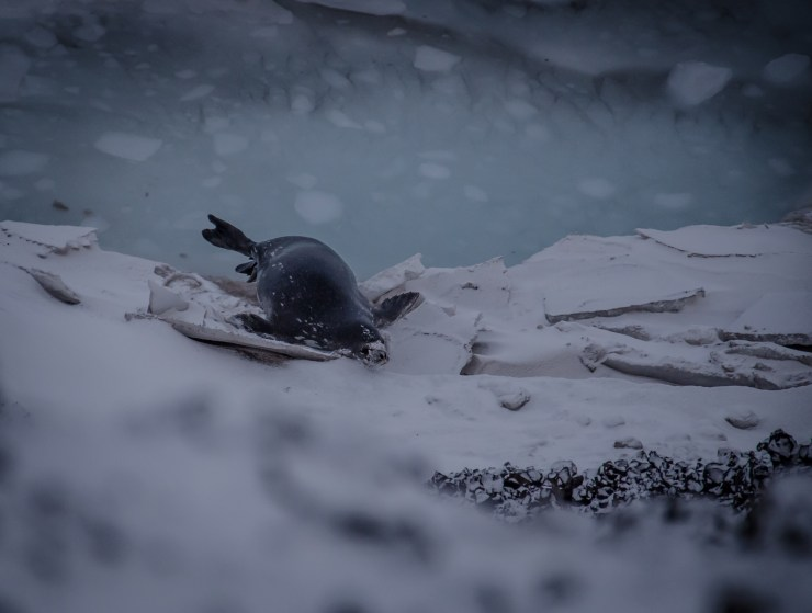 Seal coming out of the icy waters