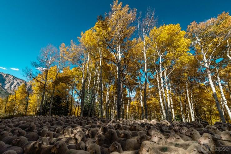 Colorado Fall Lamb-scape