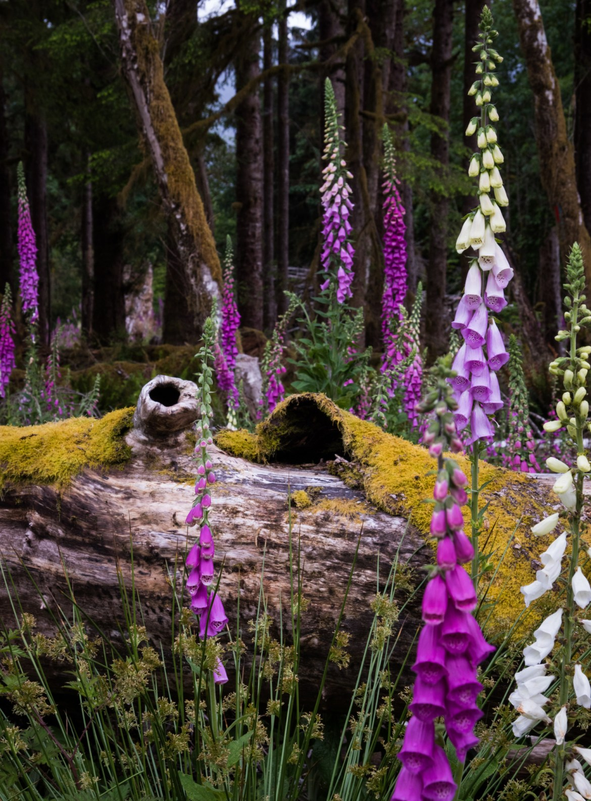 A quick detour off the main roads in Olympic National Park, led me to a clearing used for maintenance and composting. Foxgloves blanketed the ground between dead logs and branches covered in moss.