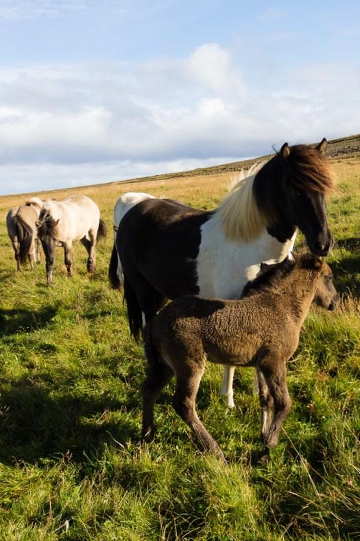 Must see - Icelandic horses, Langanes peninsula