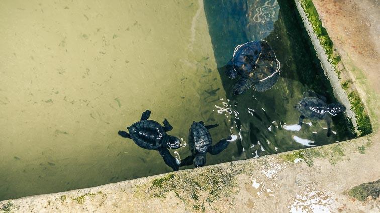 Habraduwa, turtle hatchery. Baby turtles