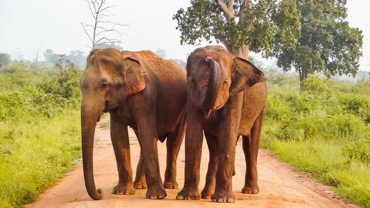 Things to do in Sri Lanka. Elephants in Udawalawe National Park