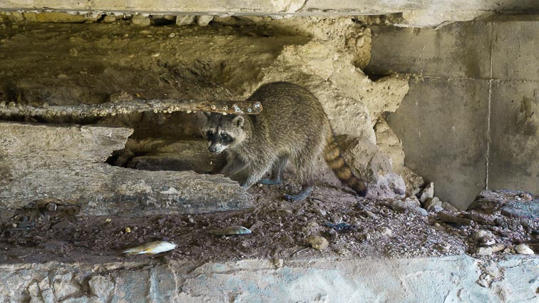 Raccoons, Las Coloradas, Mexico