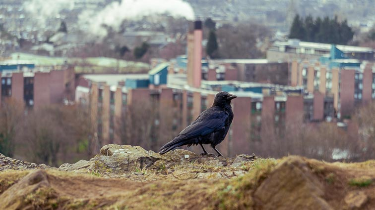 Crow in Scotland