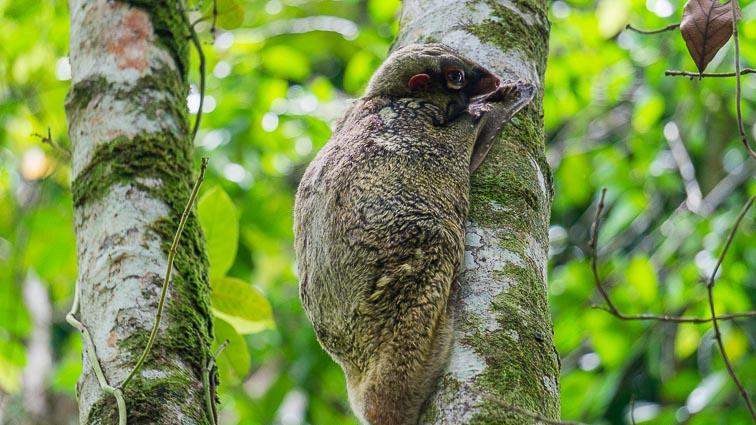 Flying Lemur on Borneo