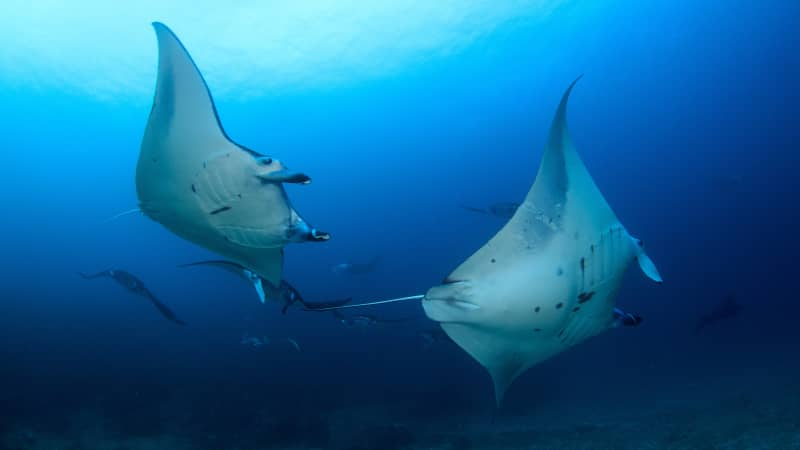 Giant rays often gather at Manta Alley to feed on plankton.