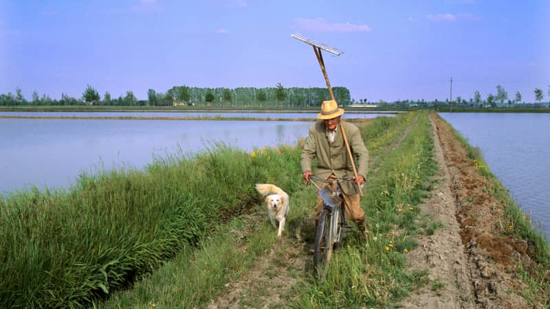 Today, Italy's rice belt is mechanized, and worked by individual farmers.