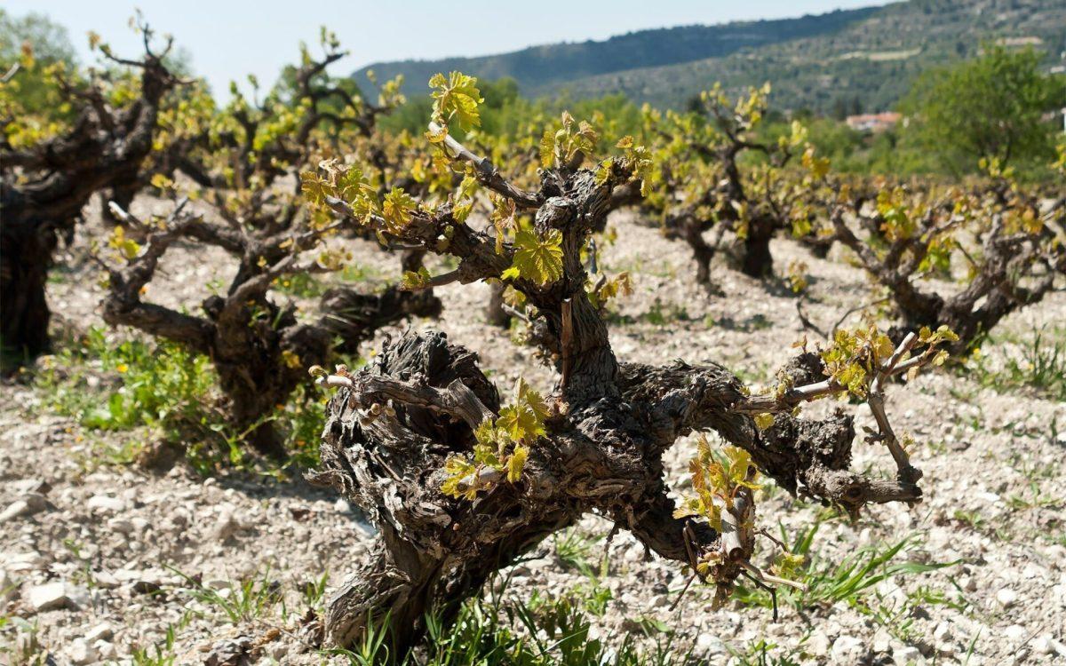 Grape vine trunks in a mountain vineyard, Troodos, Cyprus