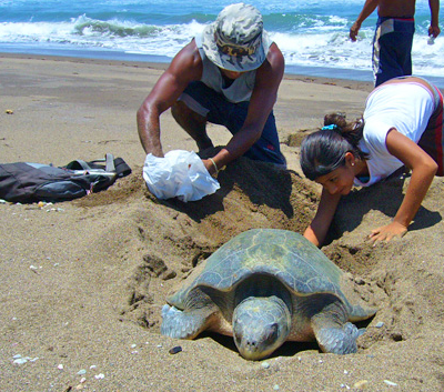 Help to Save the Sea Turtles in Costa Rica