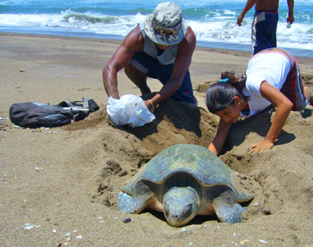 Help to Save green Sea Turtles in Costa Rica
