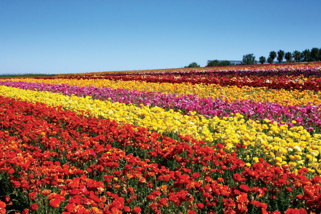Visit Carlsbad Flower Fields in California