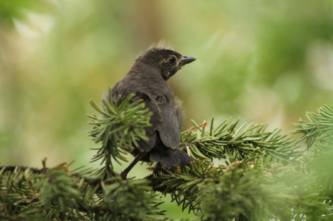 Baby Grackle 2