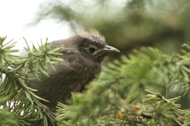 Baby Grackle 3
