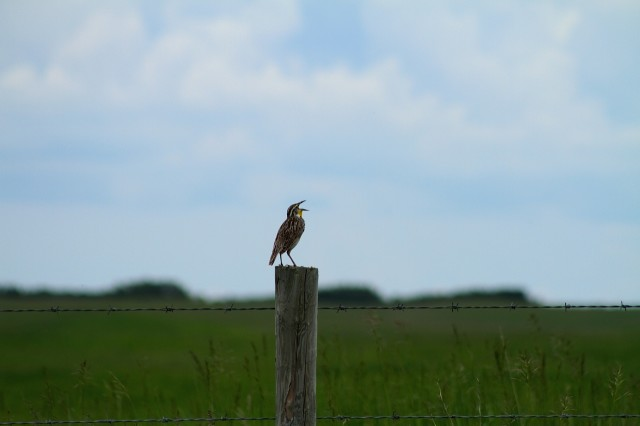 Meadow Lark singing, Saskatchewan