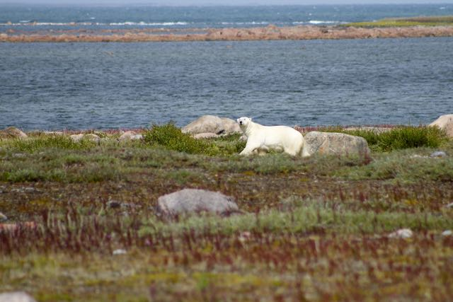 Polar Bear Hubbards Point Churchill