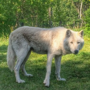 Nova, wolfdog from Yamnuska Wolfdog Sanctuary
