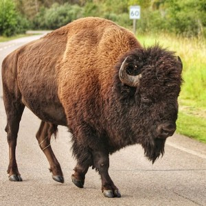 Bison crossing the road in Elk Island National Park