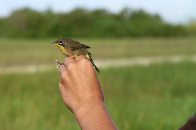 Photographer's grip of a common yellowthroat Oak Hammock Marsh