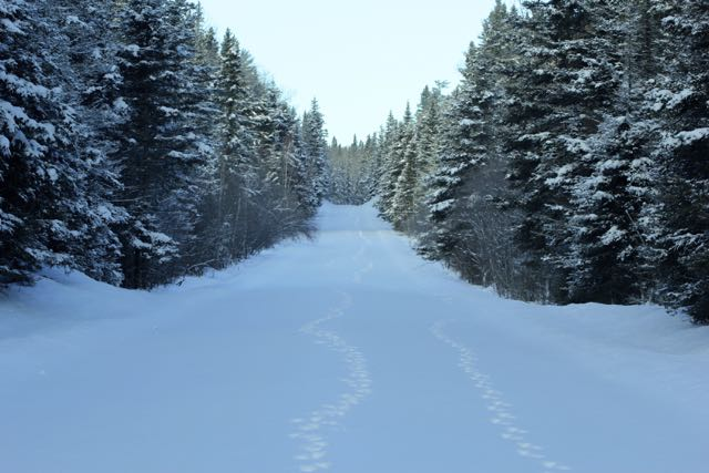 waskesiu winter wolf tracks