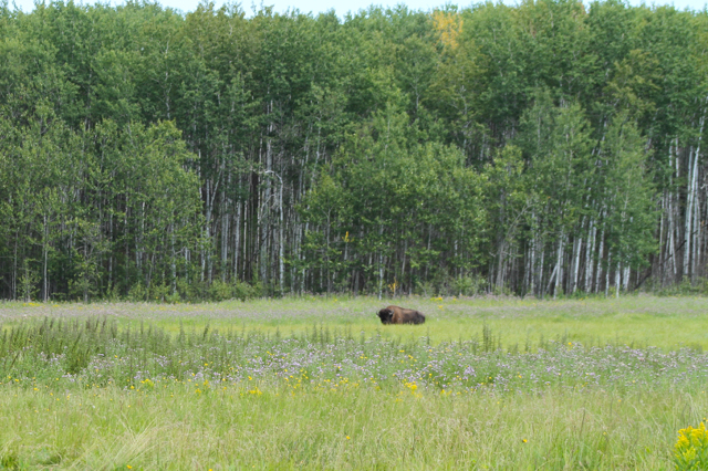 Bison in the field Sturgeon River Ranch