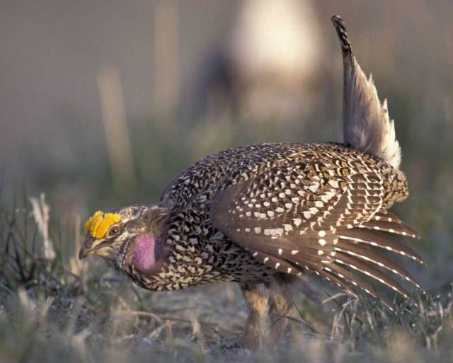 Sharp-tailed_Grouse_c26-5-014_l_1