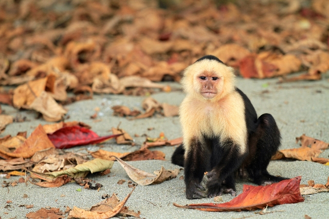 White Faced Capuchin Jenn Smith Nelson