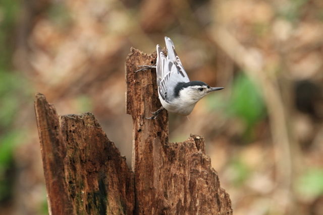 White breasted nuthatch, Ojibway Prairie Provincial Nature Reserve, Windsor, ON Jenn Smith Nelson