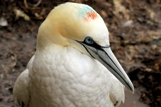 Northern gannet Jenn Smith Nelson