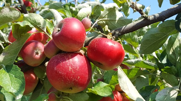 Red Apples in Mount Vernon fields near to Seattle during Pick your own Apples event.