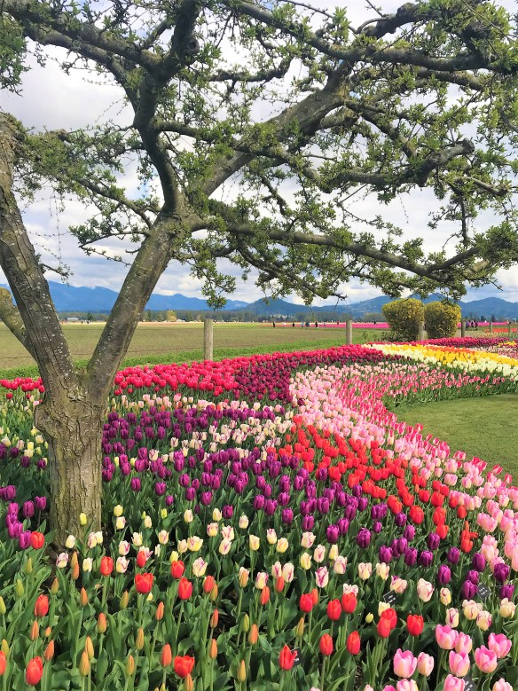 Purple, Pink, Red, Orange Yellow and Hybrid Tulips at Display Garden .Skagit Valley Tulip Fields.Hybrid and mix varieties of Tulips and other flowers at Display Garden