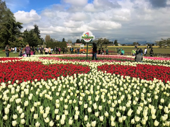 Colorful Tulips at Skagit Valley Fields. Tulip Bloomed .