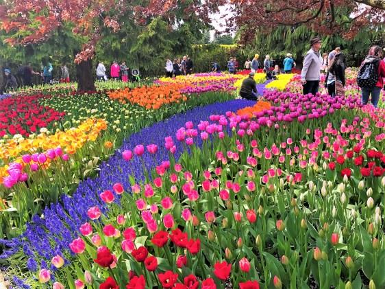 Skagit Valley Tulip Bloom Festival.  Colorful Tulips, Daffodils, Tulip Bulbs ,Mount Vernon Tulip Festival. Parking at Tulip Festival, Parking at Daffodil field, Mount Vernon