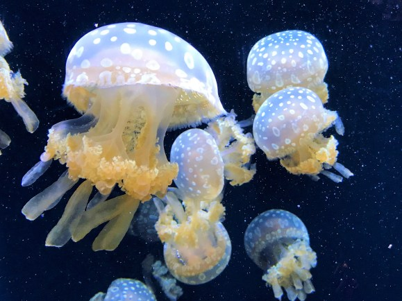 Jelly Fish in Seattle Aquarium Must Visit  Attractions in Seattle Washington
